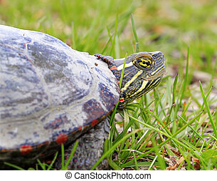 America Turtle - photo in sprint time