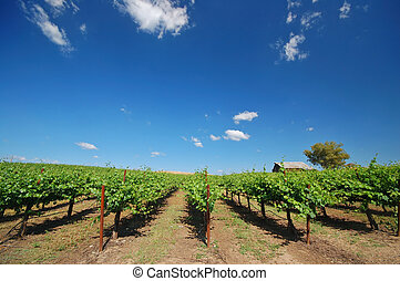 Vineyard Landscape - Northern California vineyard in spring
