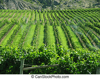 Green Vineyard - Beautiful green vineyard in a valley