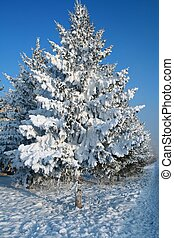 Snow-covered fir tree. Please see some similar pictures from...