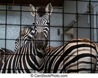 Caged Zebras at a zoo.