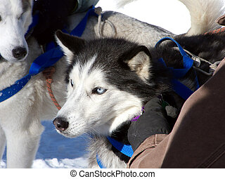 Buckle Me Up - Alaskan sled dog getting harnessed before the...