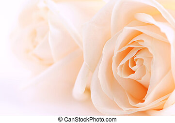 Beige roses - Macro of two delicate beige roses on white...