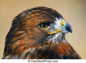 Red-tailed Hawk (Buteo jamaicensis) - Close-up picture of a...