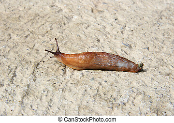 slug with clipping path - a slug slithering slowly on its...