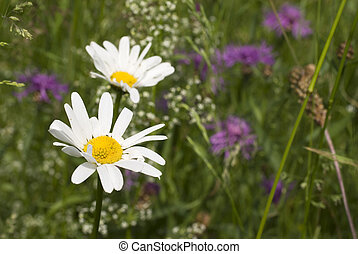 wild flowers with daisy