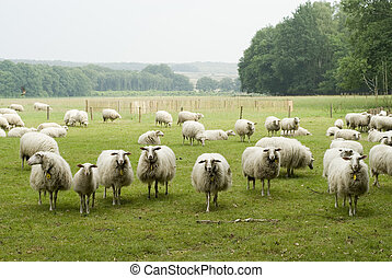 Fields with Dutch sheep - Fields full with Dutch sheep
