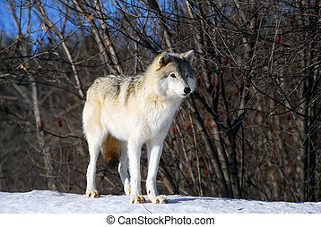 Gray Wolfe - Picture of a Gray Wolf in its natural Winter...