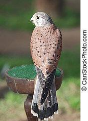 Peregrine falcon - falcon resting on stand, Portugal