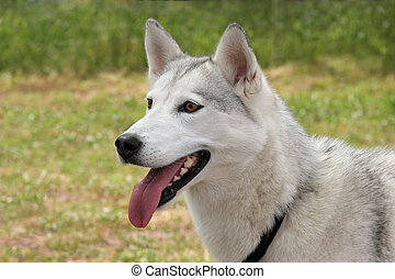 White Husky Dog - White husky dog with its tongue hanging...