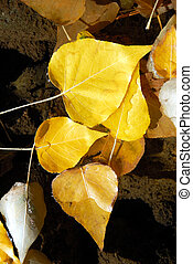Cottonwood Leaves in Stream - Detail of Yellow Freemont...