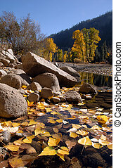 Cottonwood Leaves - Yellow Freemont Cottonwood Leaves in Low...
