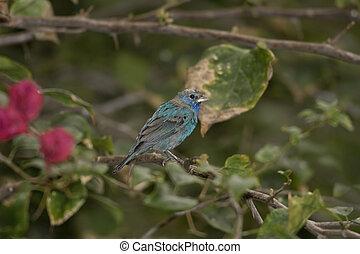Indigo Bunting perched - An Indigo Bunting perched on a tree...