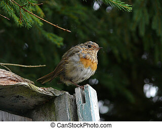 Lonely fluffy chick, young particoloured bird