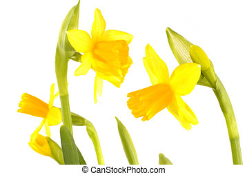 spring with daffodils