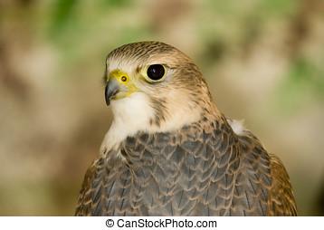 Peregrine Falcon (Falco peregrinus) - landscape orientation