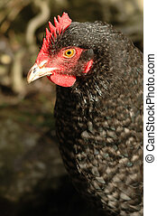free-range chicken - close-up of a black feathered...