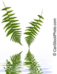 Fern Leaves Over Water - Two fern leaves with reflection in...