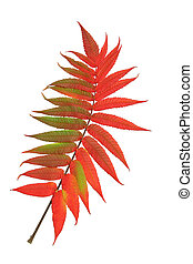 Scarlet Rowan Leaf - Rowan leaf in Autumn against a white...