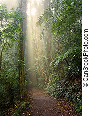 rain forest light - light beam in the beauty of the dorrigo...