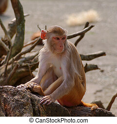 Rhesus, monkey, Heidelberg's, Zoo, Germany