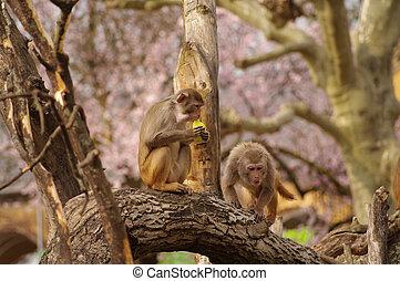 Rhesus monkeys are defending their food, Heidelberg Zoo, Germany