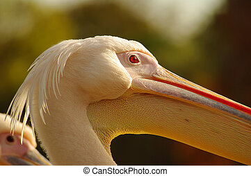 Rosy Pelican at the Luise Park in Mannheim, Germany