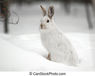 Snowshoe Hare - A white Snowshoe Hare in Winter