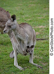 Australian Kangaroo with baby joey in pouch - Full body...