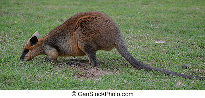 pequeno, Australiano, wallaby