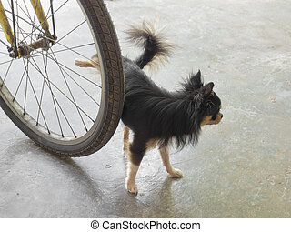Chihuahua dog peeing on tyre of bicycle