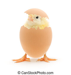 Chicken and an egg shell on white background