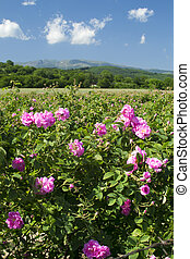Rose fields - The famouse rose fields in the Tracian Valley...