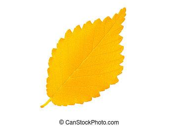 amarillo, otoño, hoja, olmo, aislado, blanco, Plano...