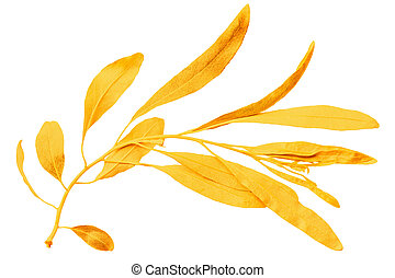 Yellow autumn leaf willow isolated on white background