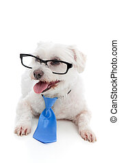 Dog wearing spectacles glasses - A small pet dog wearing...