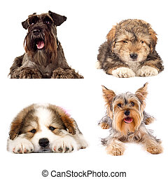 four cute puppy dogs on white background. yorkshire terrier,...