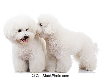 bichon frise puppy dogs playing - pair of adorable bichon...