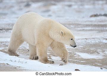 Polar Bear walking in snow.
