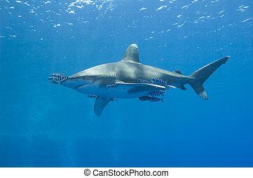 Oceanic white-tip shark in the sea - Large oceanic white-tip...