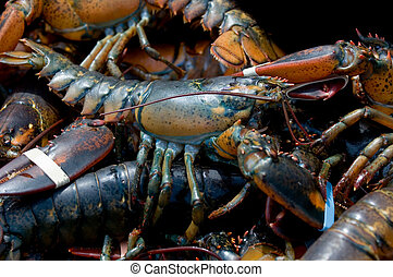 Maine lobsters - Live lobsters caught in Bar Harbor, Maine