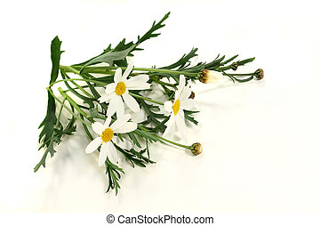 Marguerites - some stalks of daisies on a light background