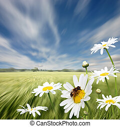 Oxeye Daisies - A Summer Landscape with Oxeye Daisies and...