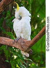 A sulphur-crested cockatoo on the tree