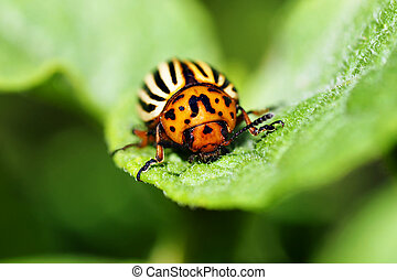 Macro of Colorado potato beetle on leaf - Cute but damaging...