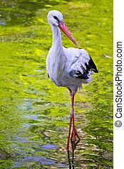 A stork in its natural habitat