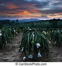 Colorful sky and Front of dragon fruit tree - Colorful sky...