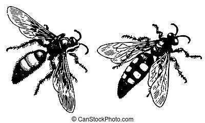 Wasp Scolia - Two wasps Scolia