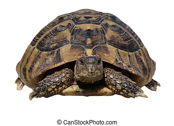 Turtle isolated on white background testudo hermanni,...