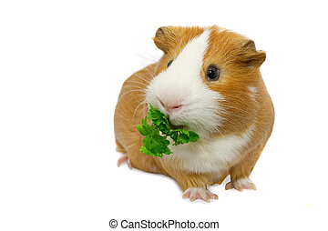 guinea pig eating green parsley over white